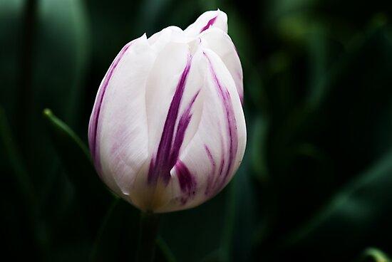 "Triumph Tulipa ""Flaming Flag"" by Alison Cornford-Matheson"