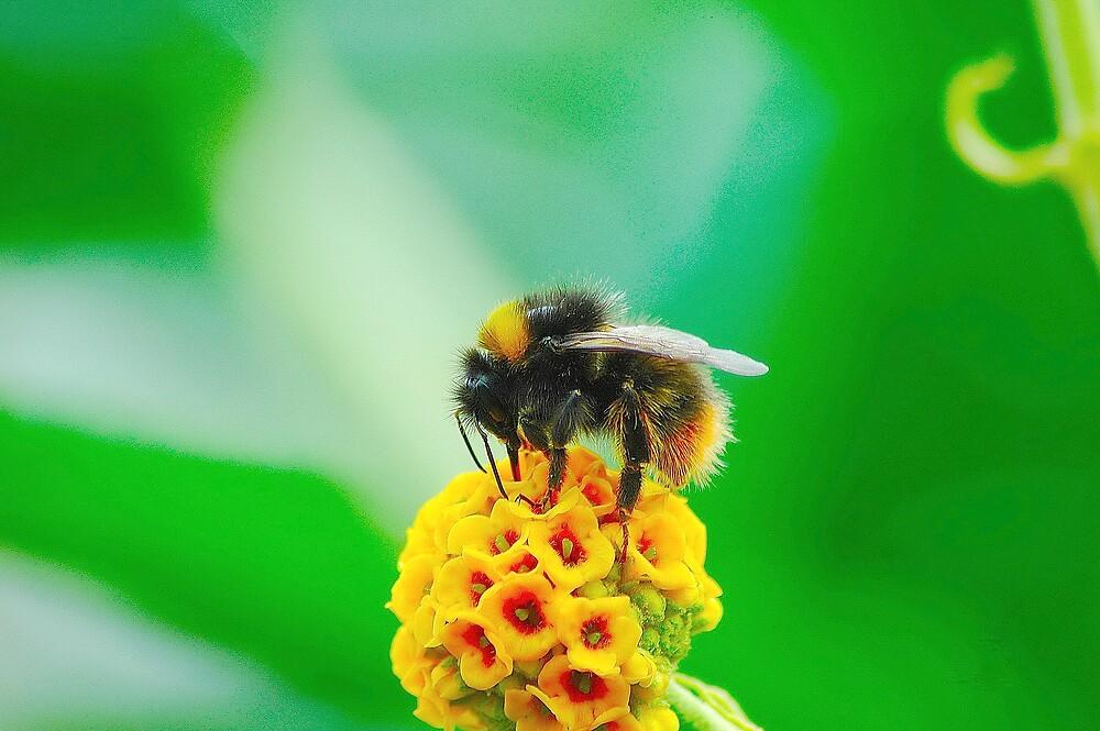 Buff-Tailed Bumble Bee by Stephen Walton