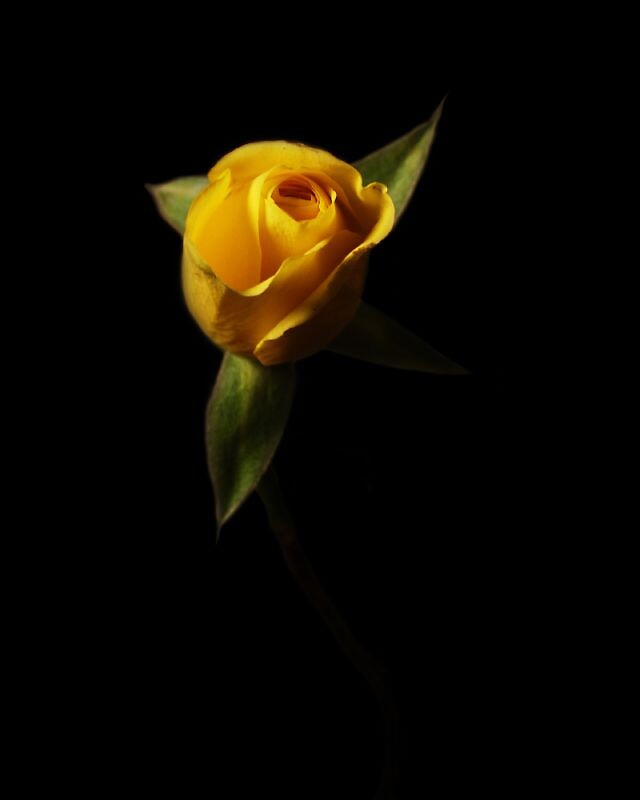 Yellow rose by quiroso