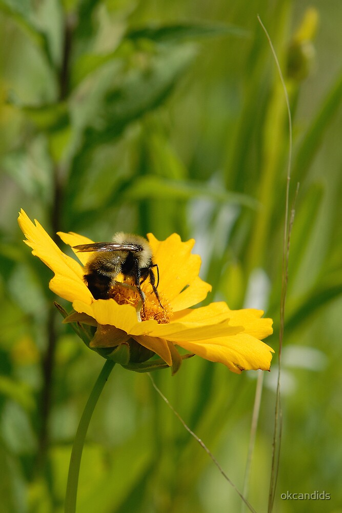 Lance Leaf Coreopsis and Bumblebee by okcandids