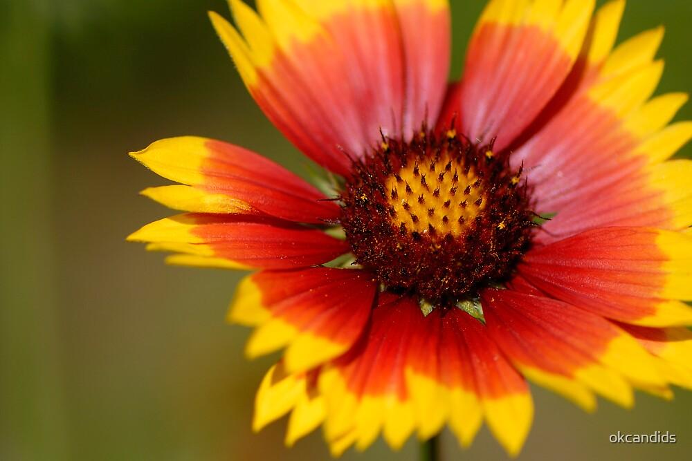 Blanketflower by okcandids