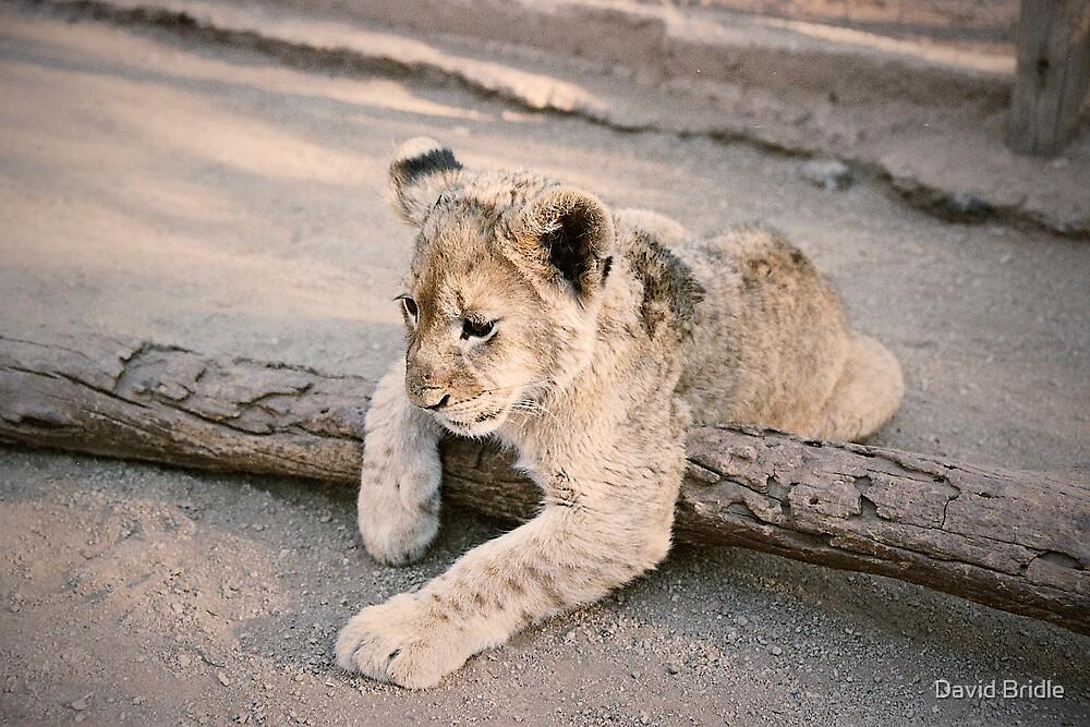 Cub by David Bridle