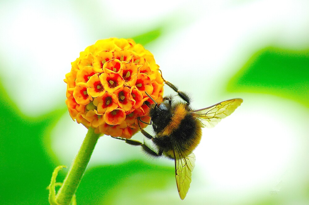 The Bumble Bee by Stephen Walton