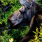 Moose at Jackson Hole by bengraham