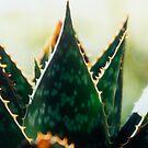 Cactus by Catherine Davis