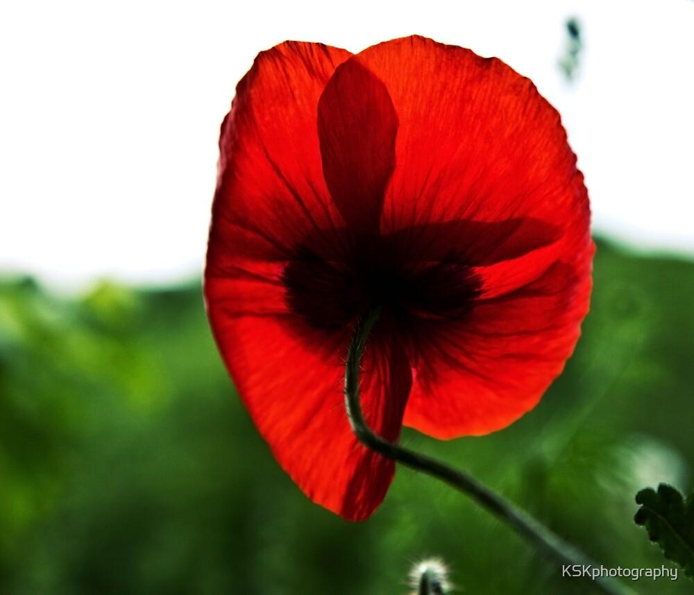 Red Poppy  by KSKphotography