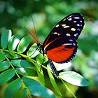 Tiger Longwing Butterfly by Cynthia48