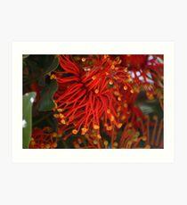 Unusual Crazy Flower (Stenocarpus sinuatis) Art Print