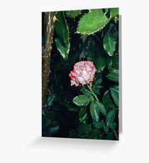pink white rose 07/17/17 Greeting Card