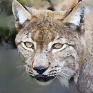 Caracal (The Persian Lynx) by David Carton