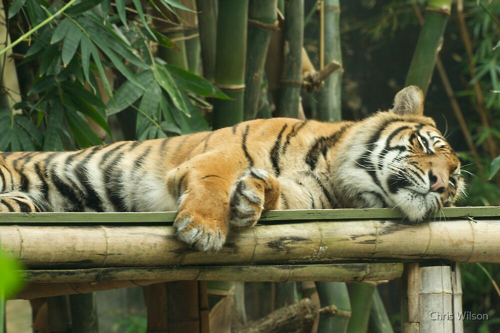 Tired Tiger by Chris Wilson