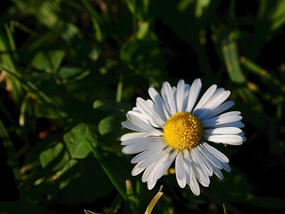 Chamomile Flower by Douglas E.  Welch