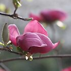 Magnolia in bloom by agnessa38