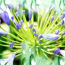 Agapanthus tears by lensbaby