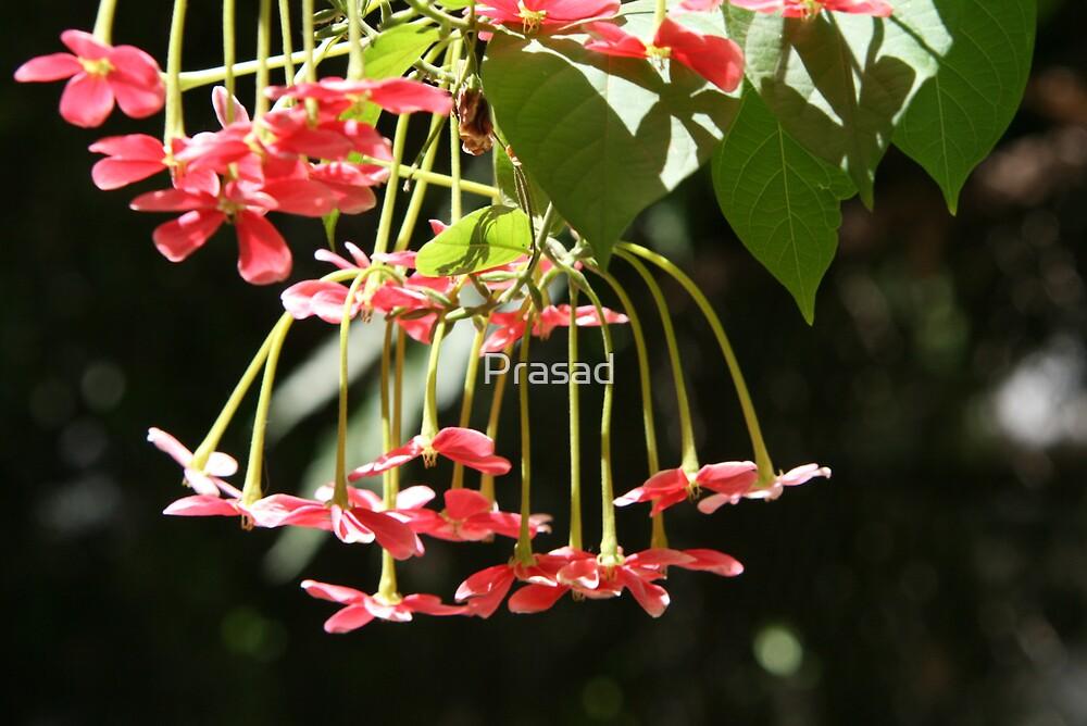 Blossom by Prasad