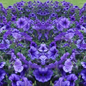 Purple Petunias by KazM