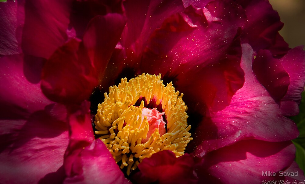 Rose Peony by Michael Savad