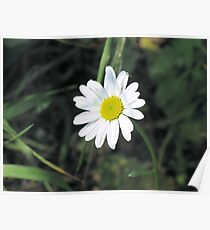 greenfly on daisy Poster