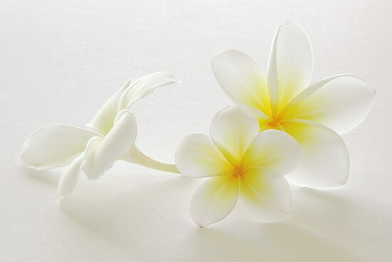 Frangipani Dreams in Colour by AnnieD