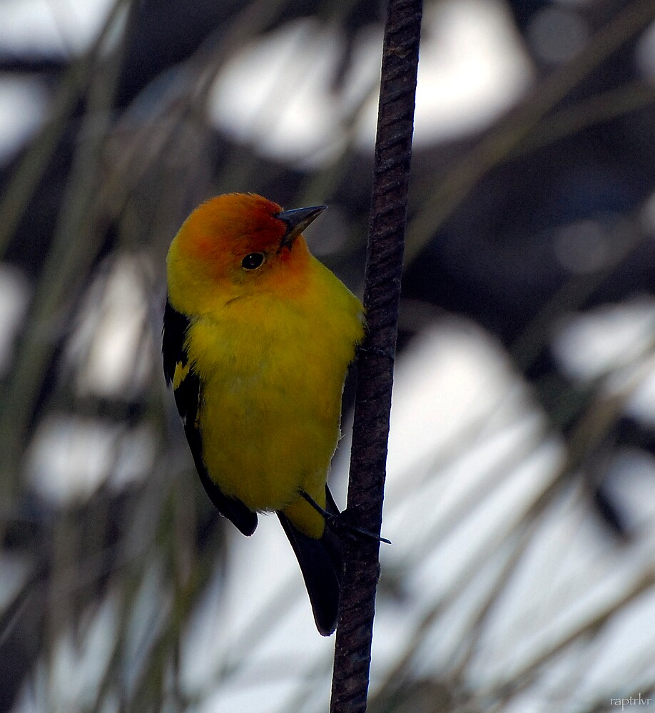 Western Tanager on a Stormy Day by raptrlvr