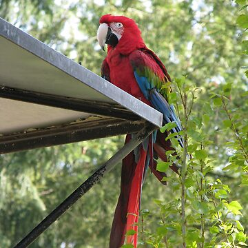 macaw by as2ae