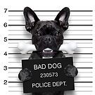 Funny French Bulldog Mugshot  by wantneedlove
