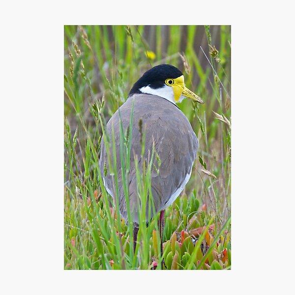 Masked Lapwing (race novaehollandiae) Photographic Print