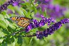Butterfly 2 by John Velocci