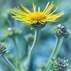 Asteraceae by alan shapiro