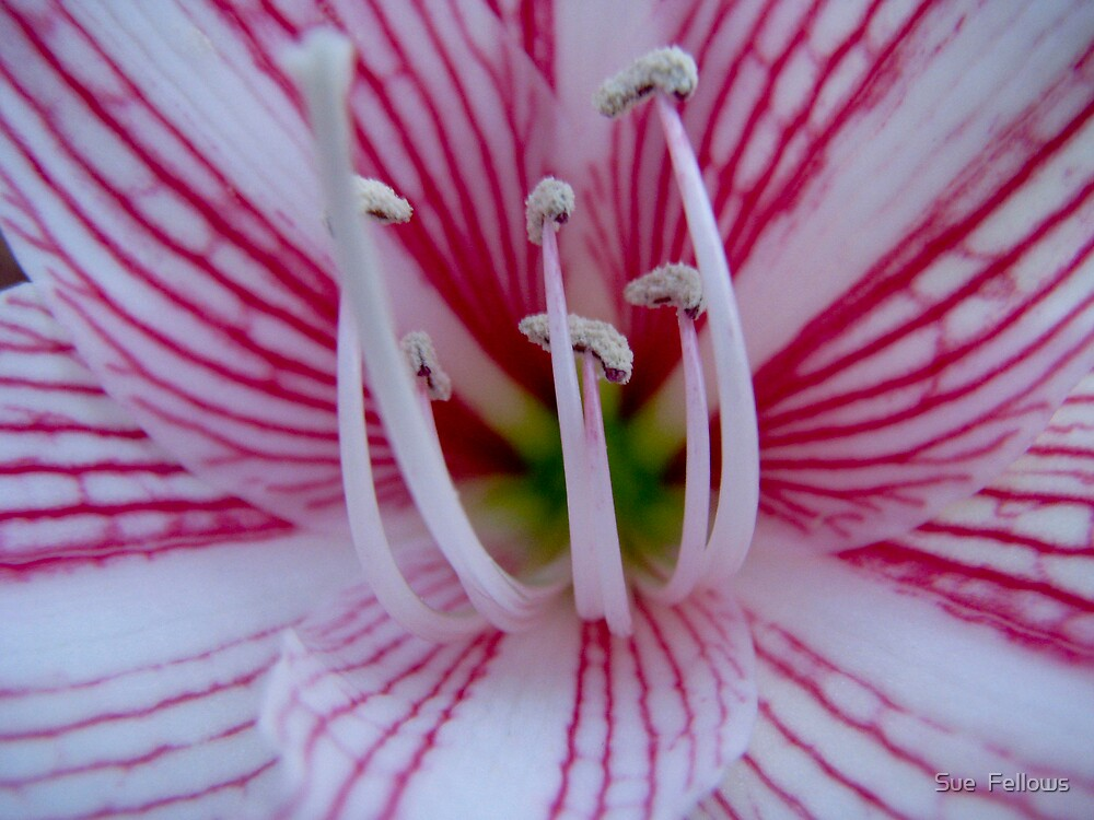"""""""Mandy's Lilly"""" by Sue  Fellows"""