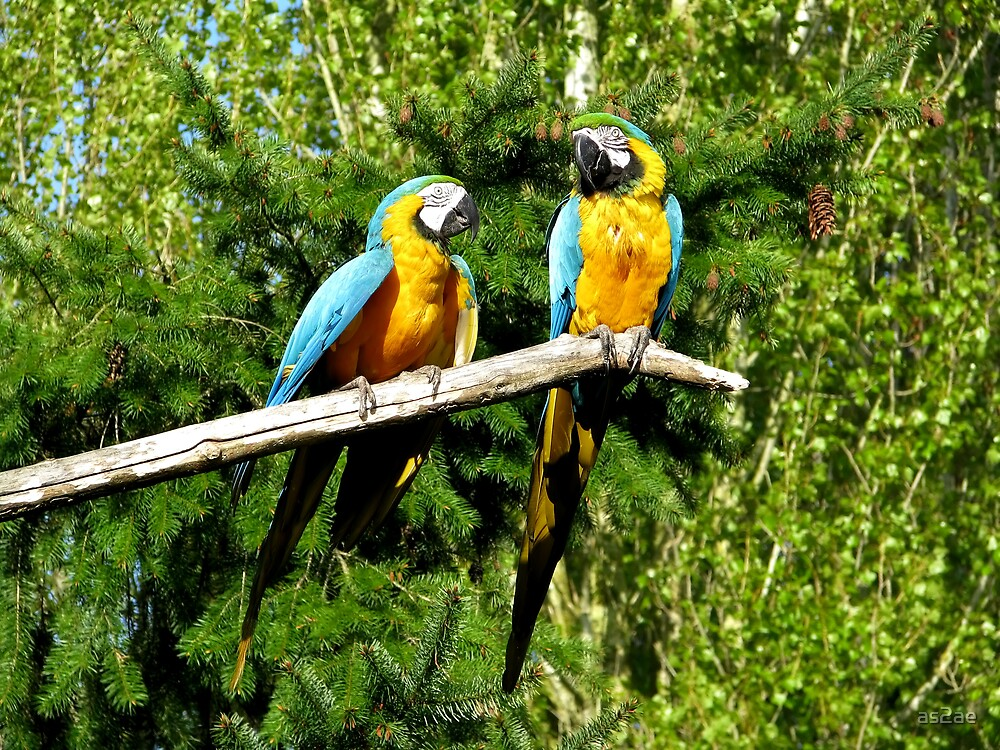 macaws by as2ae