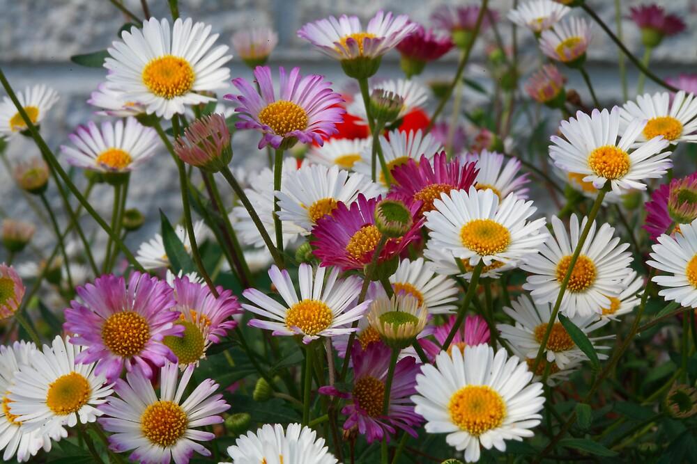 Daisies - Erigeron - Seaside Daisy by David Jamrozik