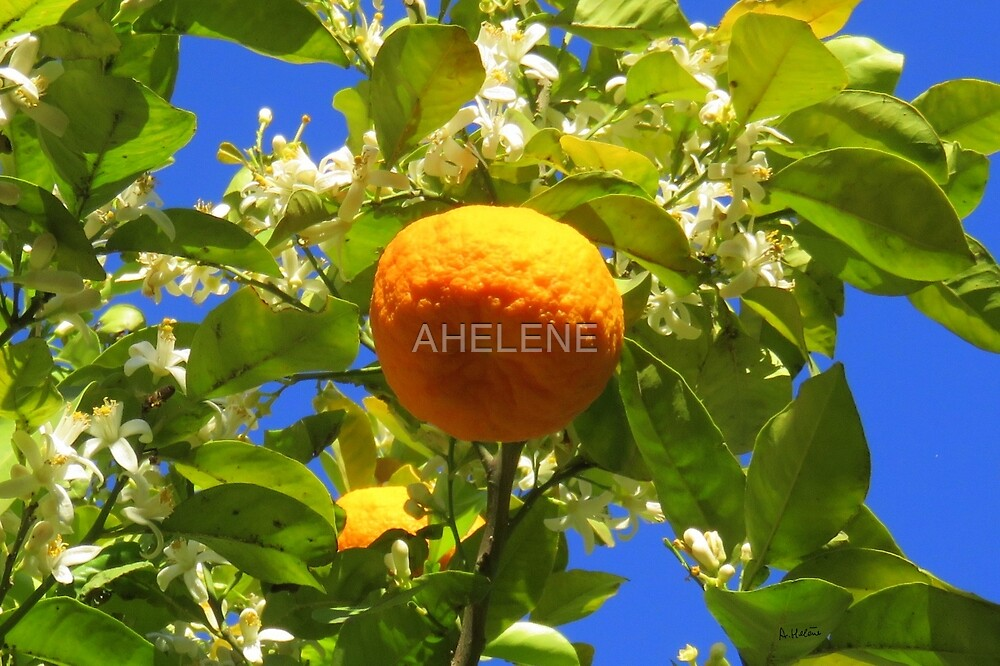 orange dans son oranger by AHELENE