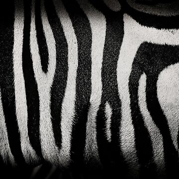 Zebra by vickylewisphoto