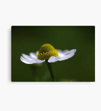 delicate daisy Canvas Print