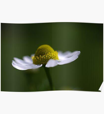 delicate daisy Poster