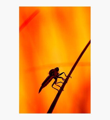 Robberfly Photographic Print