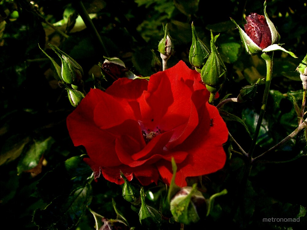 Rosas by metronomad