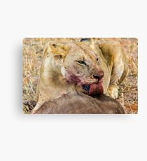 Africa - Lick from a lioness Canvas Print