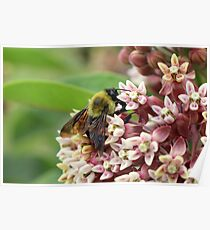 Bumble Bee Collecting Pollen on Pink Flowers Poster