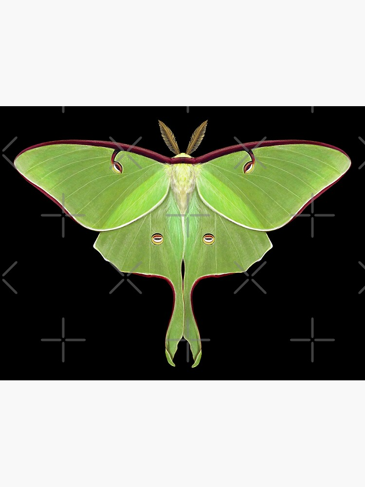 Luna Moth Painting by Mary Capaldi by MaryCapaldi