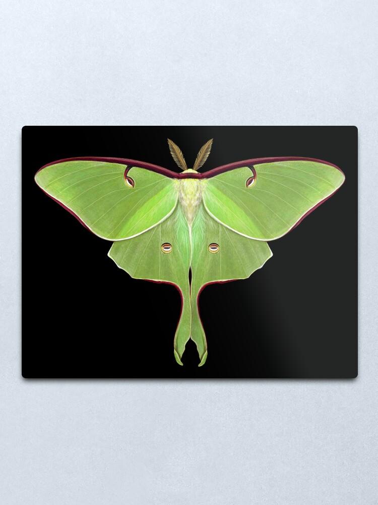 Alternate view of Luna Moth Painting by Mary Capaldi Metal Print