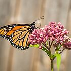 Monarch 2017-2 by Thomas Young