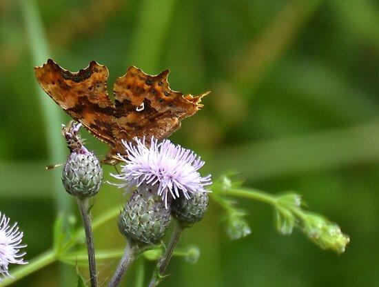 Comma Butterfly, Lyme Dorset UK by lynn carter