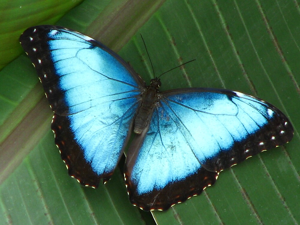 Blue Morpho by IndyLady