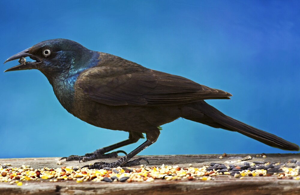 Common Grackle by Michael Wolf