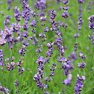 lavender dreams by debfaraday
