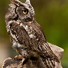 Eastern Screech Owl by sundawg7