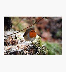 Robin Redbreast Photographic Print