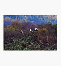 Red Kites sitting on a tree top. Photographic Print